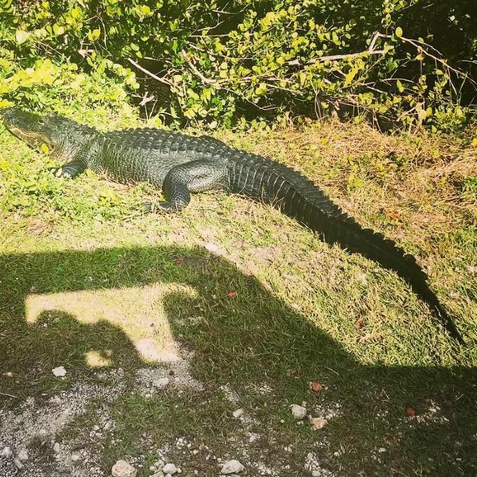 Alligator during Everglades Tour