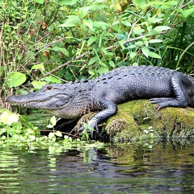 Miami Everglades Tour Alligator Viewing