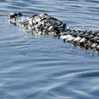 Alligator on an Airboat Safari in Orlando