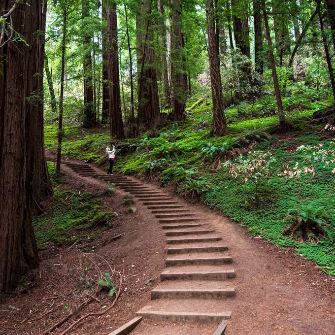 See the Coastal RedwoodSequoias