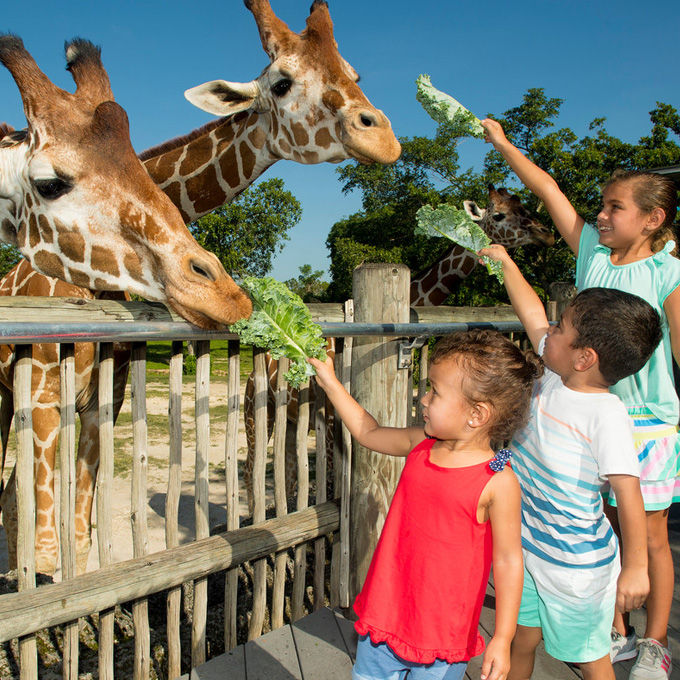 Visit with Giraffes at Miami Zoo