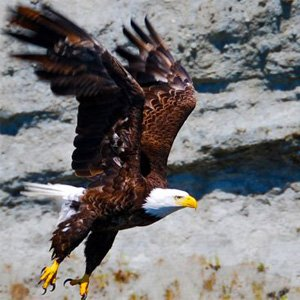 Bald Eagle on Kayak Tour in San Juan Island