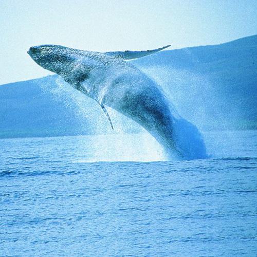 Maui Humpback Whale Migration