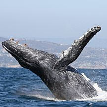 Humpback Whale in Newport Beach