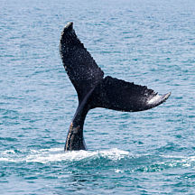 Whale Watching in Santa Barbara
