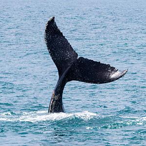 Whale Watching in Santa Barbara