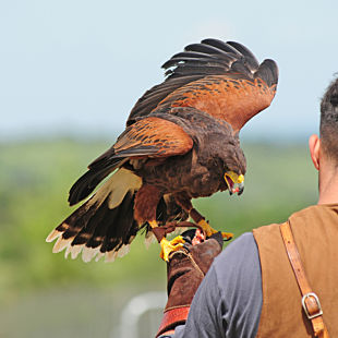 Falconry Beginner Lesson in Colorado Springs