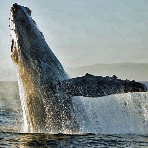 Newport Beach cruise humpback whale