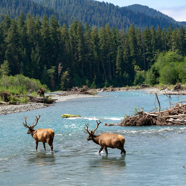Elk Crossing the Hoh River