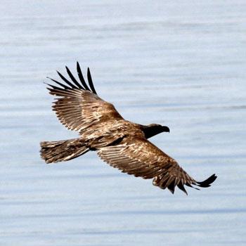 Eagle on Boat and Brew Kayaking Tour of San Juan Islands