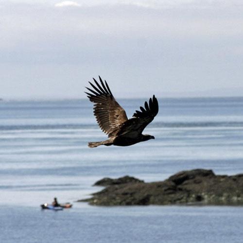 Eagle seen on Wine Tasting and Kayaking Tour of San Juan Islands