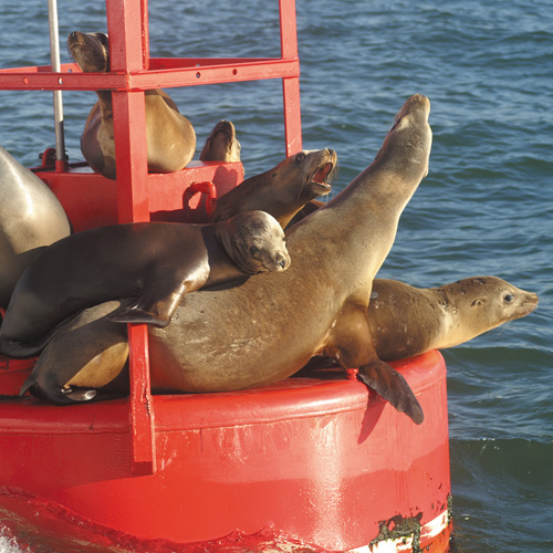 Sea Lions on Buoy on San Diego Whale Watching Cruise