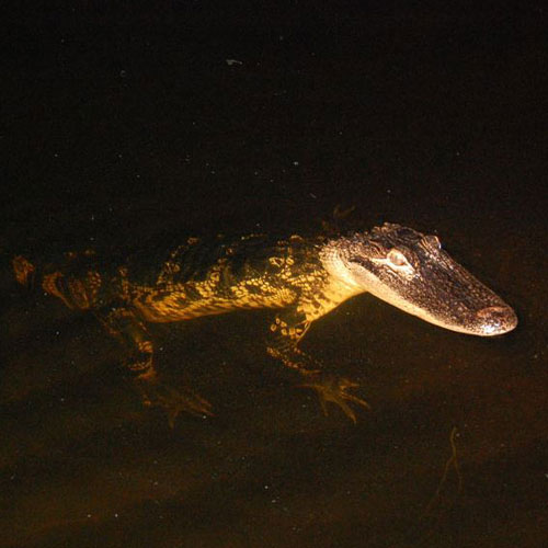 Alligator at night
