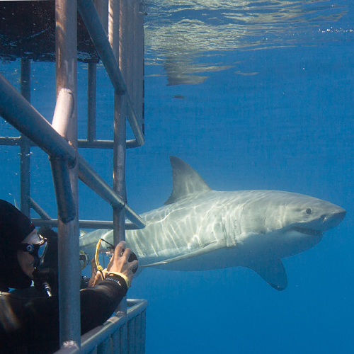 Cage Diving at Isla Guadalupe