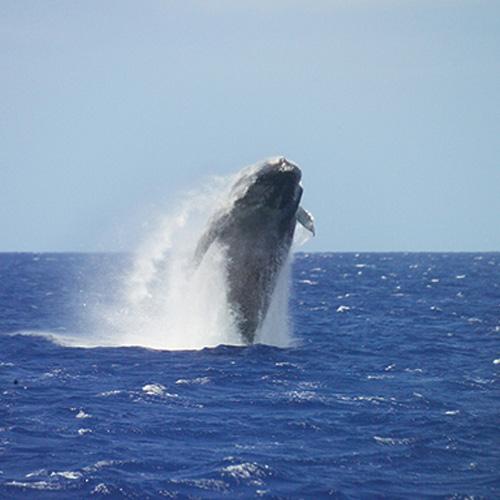 Whale Breaching in Hawaii